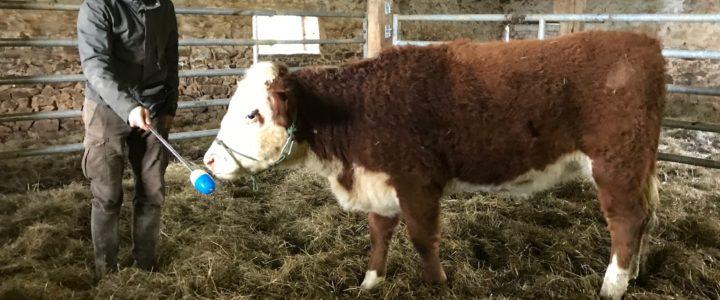 Conseils auprès d'éleveurs de vaches HEREFORD
